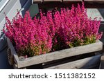 Erica Graceful Flowers In A...