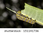 Monarch Caterpillar Eating...