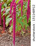 Small photo of Amaranthus Caudatus flowers, also known as Love Lies Bleeding