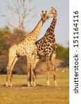 A Pair Of Giraffes Standing On...