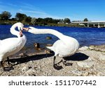Swans biting each other, Vienna, Austria, Danube river