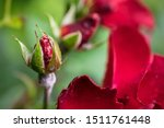 Red Rose Buds Budding In The...
