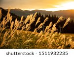 Bright Silver Grass With Sunset ...