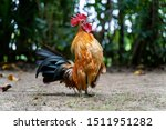 Rooster Crows. Big Rooster...