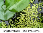Common Duckweed  Duckweed ...