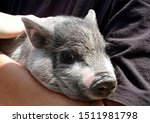 Little Pig In The Hands  Young...