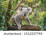 Koala On Eucalyptus Tree...