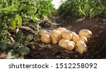 Pile Of Ripe Potatoes On Groun...