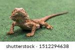 Pogona Vitticeps Walks On Gree...