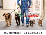 Stock photo professional dog walker or pet sitter walking a pack of cute different breed and rescue dogs on 1512341675