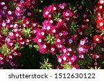 Flowers Of Verbena Hybrida Of...