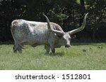 Texas Longhorn Cow In Field