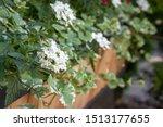Blooming White Flowers Vine...