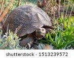 Stock photo mountain tortoise in southern karoo south afica 1513239572