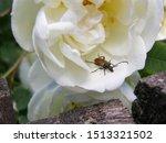 Longhorn Beetle  Paracorymbia...