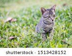 Stock photo a kitten on the green grass the kitten is looking for prey the kitten is playing on the green lawn 1513428152