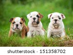 Stock photo three english bulldog puppies sitting on the grass 151358702
