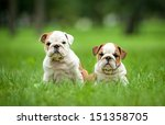 Stock photo two english bulldog puppies sitting in the park 151358705