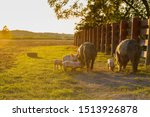 Small photo of Drove of pigs on a pasture. Litter of piglets in a field. Sow and piglets eating. A golden pasture during sunset. Swine covered in mud.