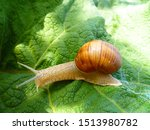 Snail Gliding On The Green Lea...