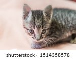Stock photo small gray striped kitten is looking into frame kitten is month old newborn kitten without mom 1514358578
