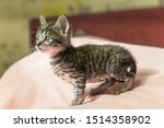 Stock photo small gray striped kitten is looking into frame kitten is month old newborn kitten without mom 1514358902