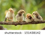 group of babies chickens on... | Shutterstock . vector #151438142