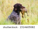 German Wirehaired Pointer Keep...