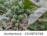 Brussels Sprouts Plant After...