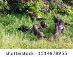 Wild Turkey In Summer  Quebec ...