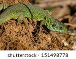 green lizard  lacerta bilineata ... | Shutterstock . vector #151498778
