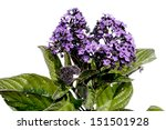 Peruvian Heliotrope Flower...