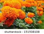 A Hedge Of Bright  Orange...