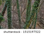 Tree Covered With Ivy. A Large...
