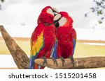Red Macaws Ara Amaco Colorful...