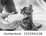 Stock photo little gray kitten drinks milk from a bottle feeding kittens without a nursing cat kittens on 1515341138