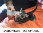 Stock photo little gray kitten drinks milk from a bottle feeding kittens without a nursing cat kittens on 1515348002