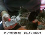 Stock photo little gray kitten drinks milk from a bottle feeding kittens without a nursing cat kittens on 1515348005