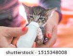 Stock photo little gray kitten drinks milk from a bottle feeding kittens without a nursing cat kittens on 1515348008
