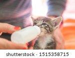 Stock photo little gray kitten drinks milk from a bottle feeding kittens without a nursing cat kittens on 1515358715