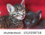 Stock photo two little sibling kittens sleep side by side cute kitten fed by a man sleeping babies kittens 1515358718