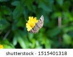 Horace's Duskywing Moth On A...