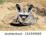the bat eared fox  otocyon... | Shutterstock . vector #151549085