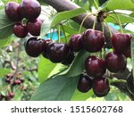 The Red Cherries In...