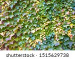 Beautiful Autumn Ivy Leaves On...
