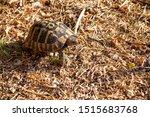 Stock photo greek tortoise testudo hermanni testudo graeca turtle in nature 1515683768