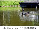 A Black Mute Swan With Red Bea...