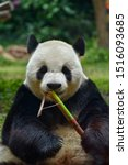 Panda Eating Bamboo As A Snack