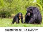A Family  Of Chimps Sitting On...