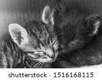 Stock photo two little sibling kittens sleep side by side cute kitten fed by a man sleeping babies kittens 1516168115